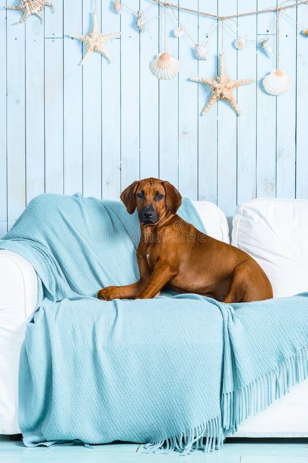 Cachorrinho de Rhodesian Ridgeback no sofá em um interior marinho do estilo fotos de stock royalty free