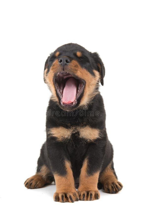 Cachorrinho de Rottweiler que boceja imagem de stock