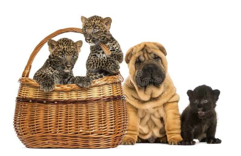 Cachorrinho de Sharpei com o filhote preto do leopardo e os leopardos manchados fotos de stock