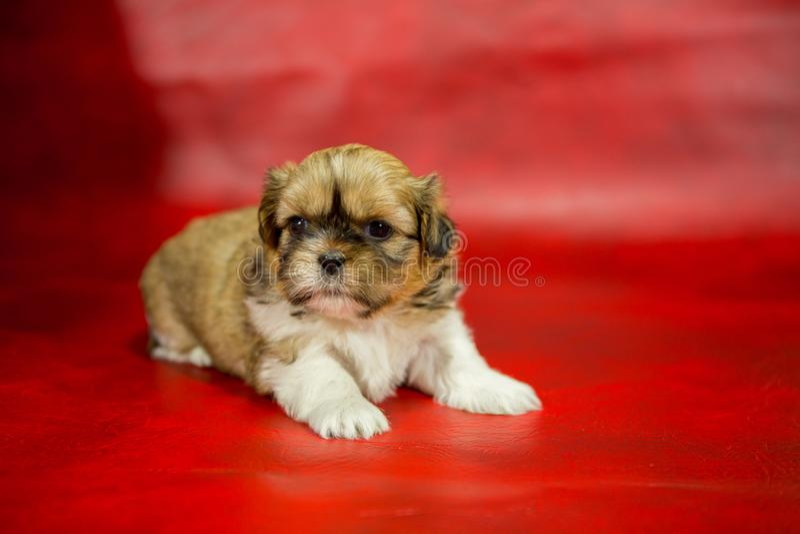 Cachorrinho de Shih Tzu em um fundo vermelho fotos de stock