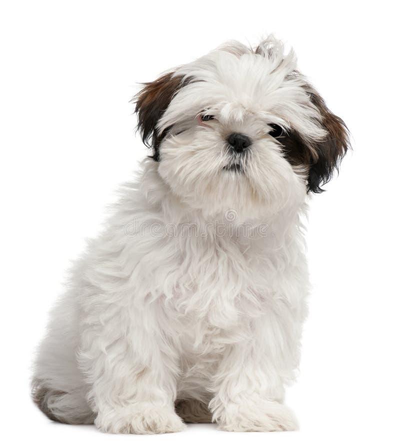Cachorrinho de Shih Tzu, 3 meses velho imagem de stock