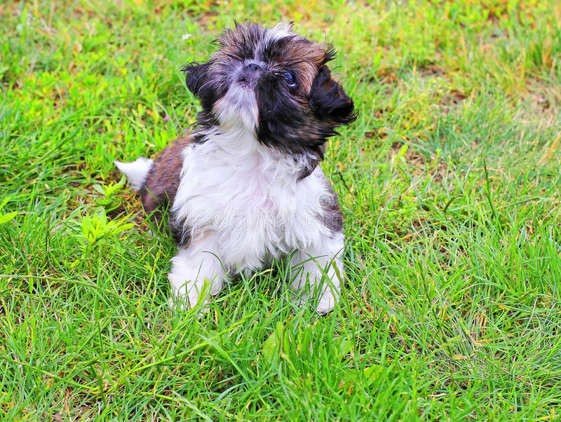 Cachorrinho de Shitzu fotografia de stock