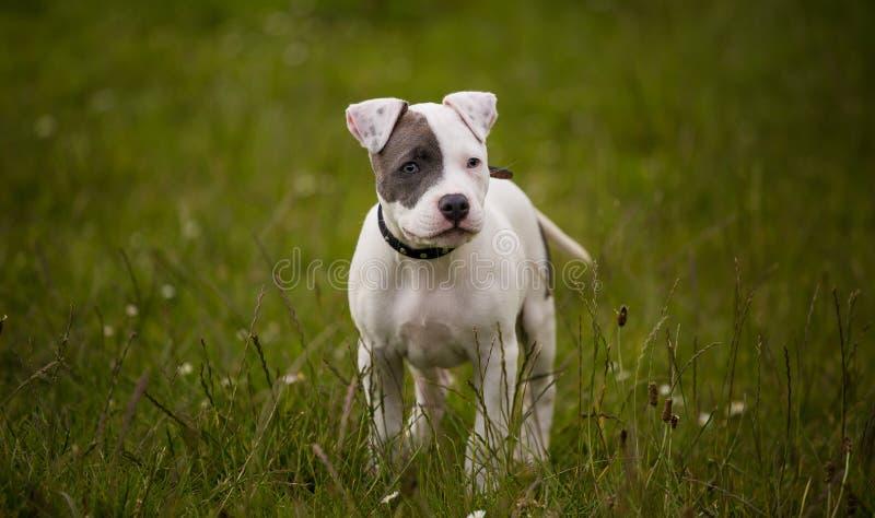 Cachorrinho de Staffordshire bull terrier na cor fotografia de stock royalty free