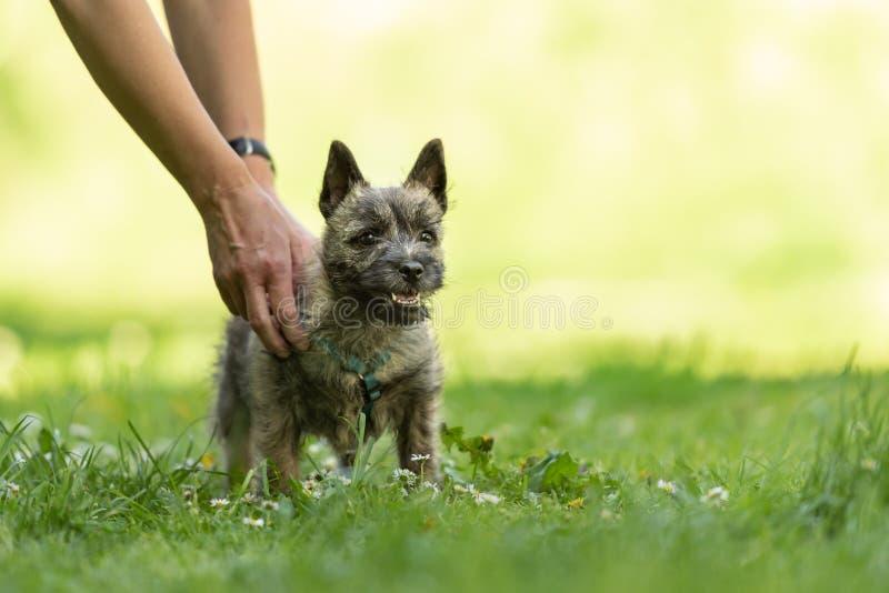 Cachorrinho de Terrier de monte de pedras 13 semanas velho Jogo bonito do cão pequeno fotografia de stock royalty free