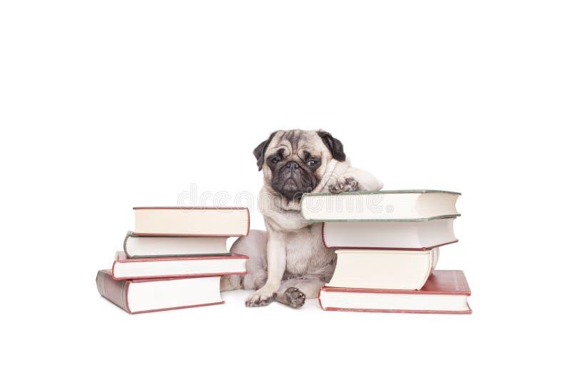 Cachorrinho de vista filosófico erudito bonito do cão do pug que inclina-se na pilha dos livros isolados no fundo branco fotografia de stock royalty free