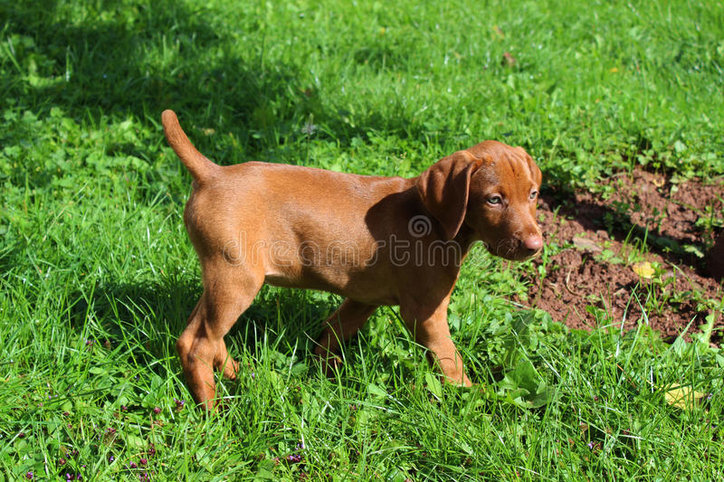Cachorrinho de Vizsla foto de stock royalty free