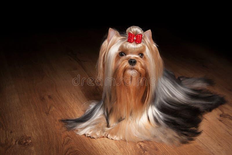 Cachorrinho de Yorkie na textura de madeira foto de stock