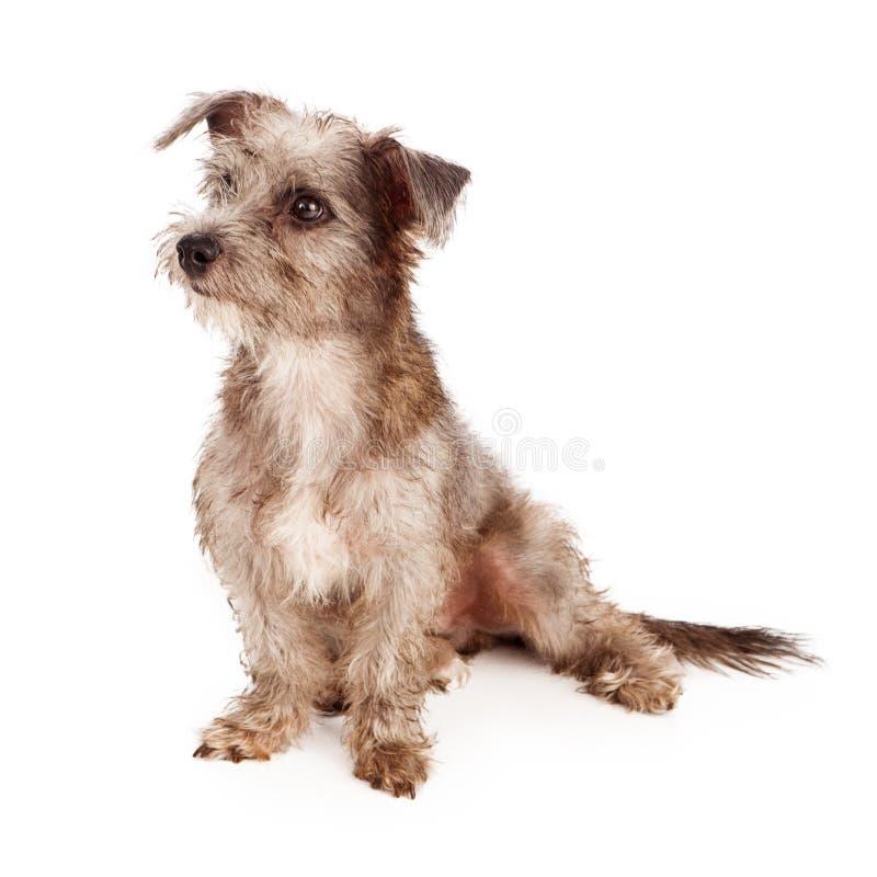 Cachorrinho desalinhado de Terrier que olha ao lado foto de stock