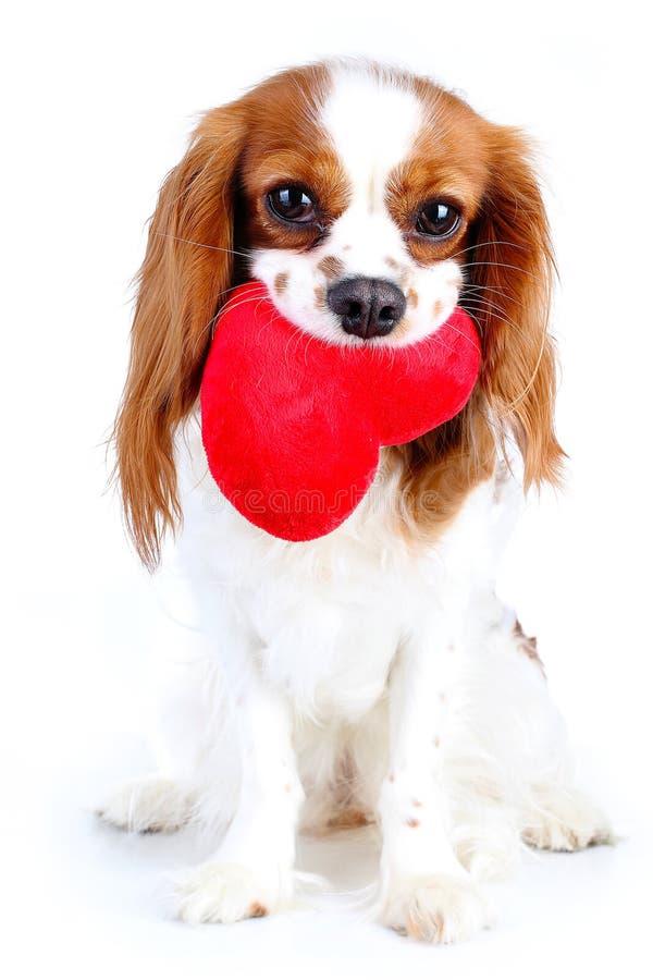 Cachorrinho descuidado bonito do cão do spaniel de rei Charles Cão loving Amor de cachorrinho Cão com coração Cachorrinho de Cues imagens de stock royalty free