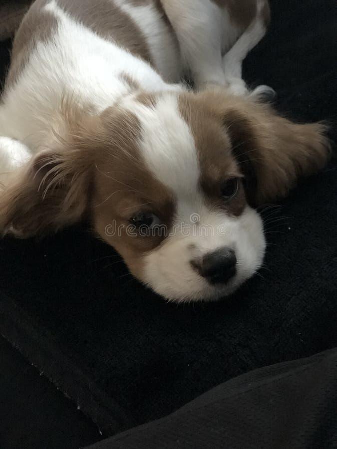 Cachorrinho descuidado sonolento do spaniel foto de stock