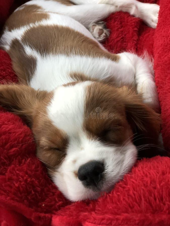 Cachorrinho descuidado sonolento do spaniel imagem de stock