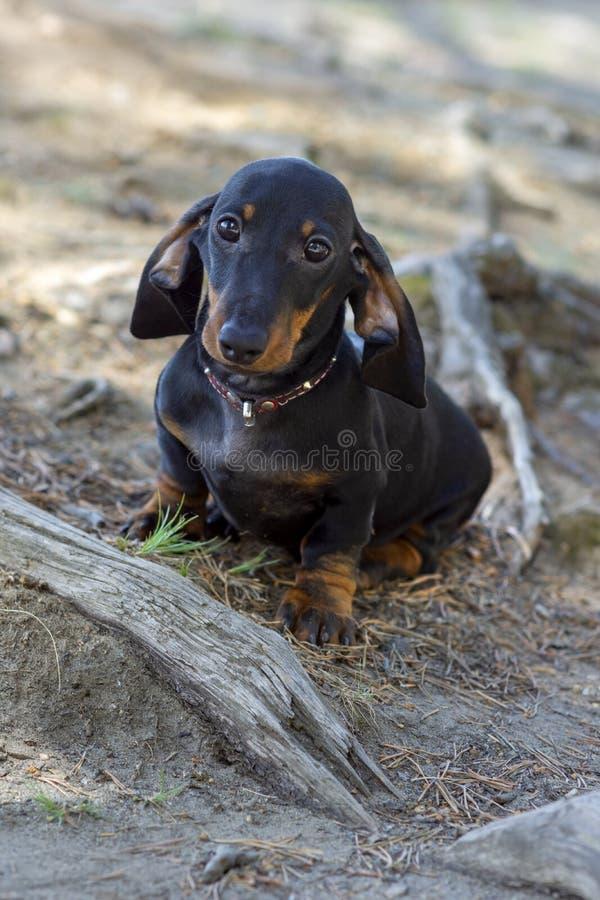 Cachorrinho diminuto fio-de cabelo bonito e tímido do bassê que levanta para o fotógrafo imagem de stock