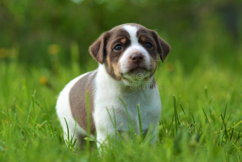 cachorrinho Dinamarquês-sueco do farmdog fotos de stock