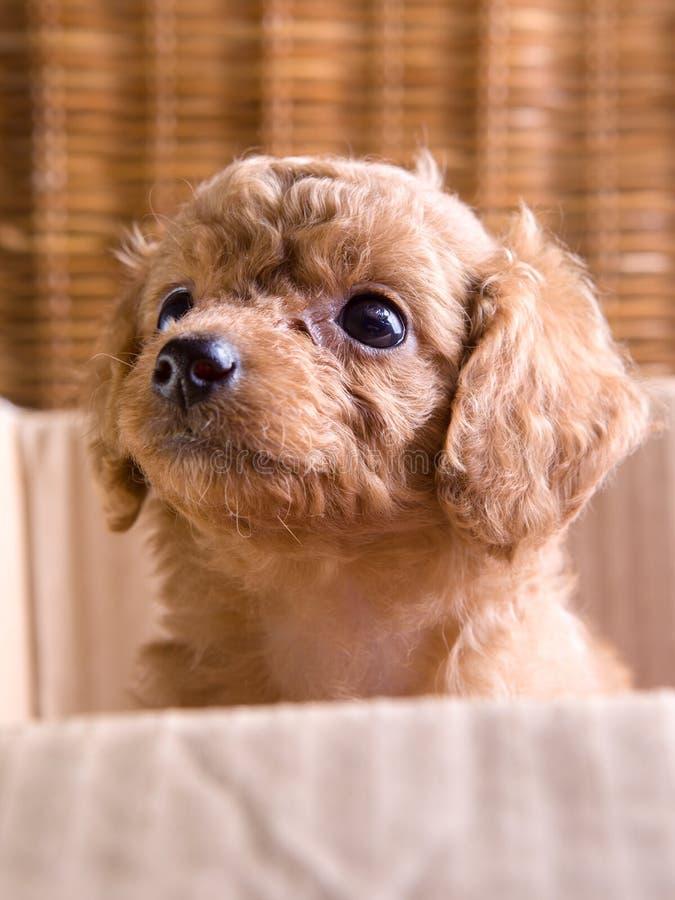 Cachorrinho do animal de estimação de Brown, caniche fotos de stock royalty free