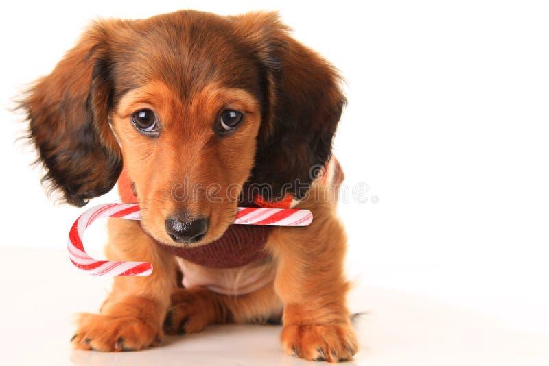 Cachorrinho do bassê do Natal imagens de stock