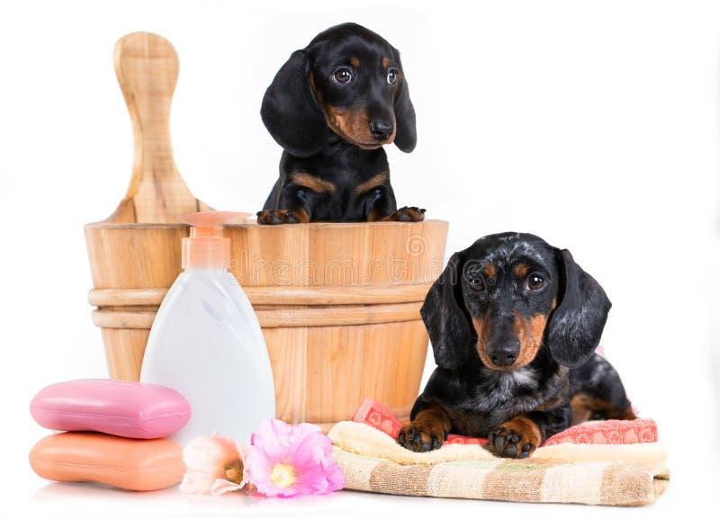 Cachorrinho do bassê na bacia de lavagem de madeira imagens de stock