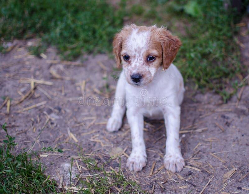 Cachorrinho do bretão do pagneul do ‰ de à imagem de stock