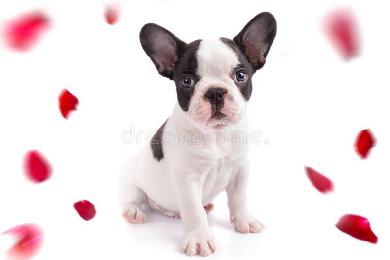 Cachorrinho do buldogue francês com as pétalas cor-de-rosa de queda foto de stock