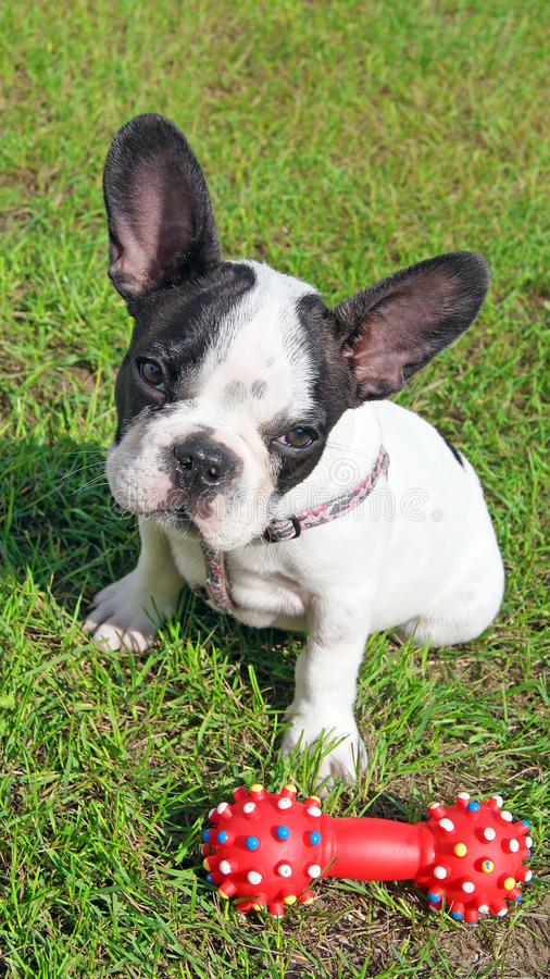 Cachorrinho do buldogue francês e brinquedo do cão imagens de stock