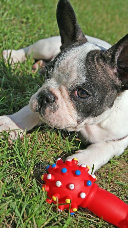 Cachorrinho do buldogue francês e brinquedo do cão imagens de stock royalty free