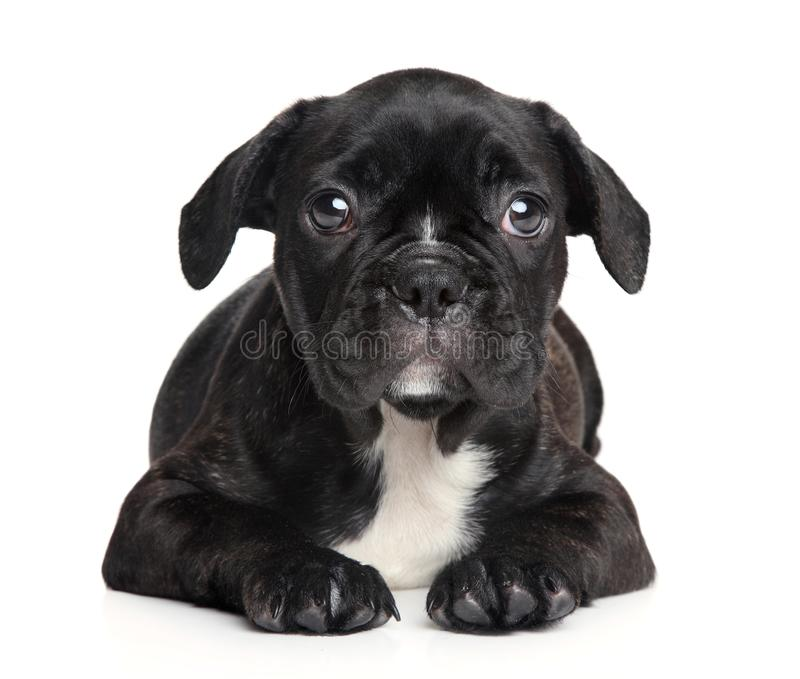 Cachorrinho do buldogue francês no fundo branco fotografia de stock royalty free