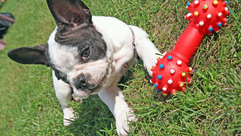 Cachorrinho do buldogue francês que joga o brinquedo do cão fotos de stock royalty free