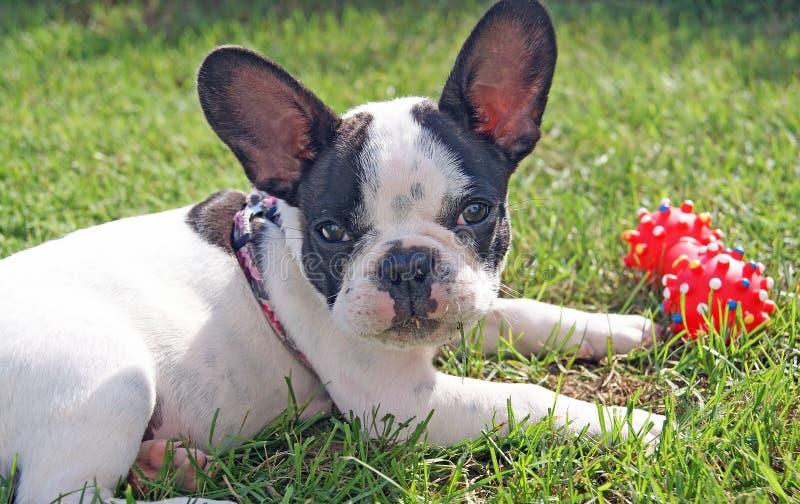 Cachorrinho do buldogue francês que joga o brinquedo do cão fotos de stock