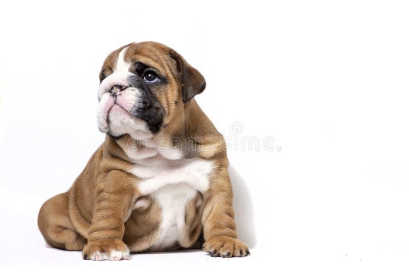 Cachorrinho do buldogue inglês no fundo branco imagem de stock royalty free