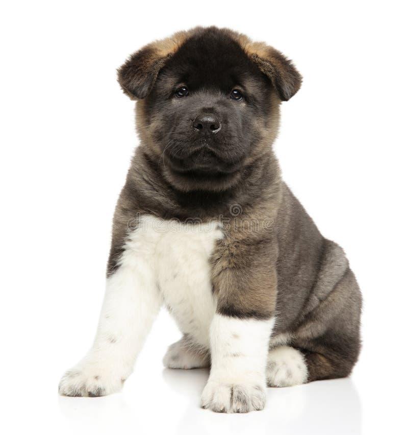 Cachorrinho do cão de Akita do americano no fundo branco imagens de stock royalty free