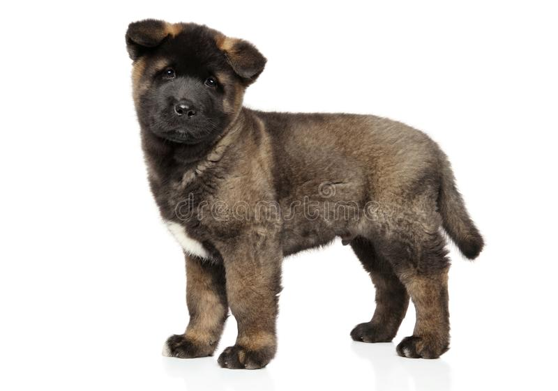 Cachorrinho do cão de Akita do americano no suporte no fundo branco foto de stock
