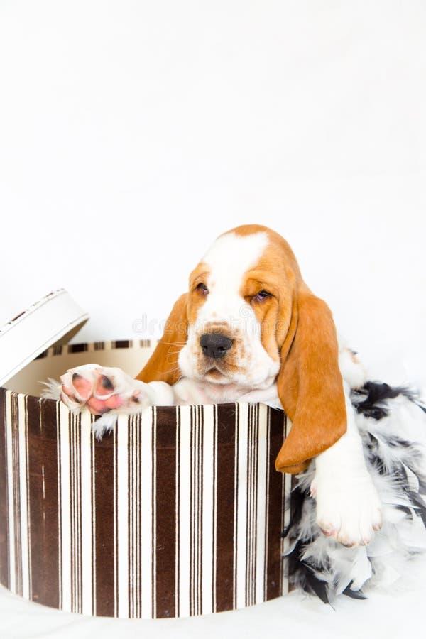 Cachorrinho do cão de basset do Hatbox fotografia de stock royalty free