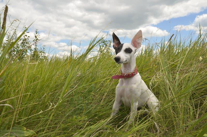 Cachorrinho do cão de corrida II imagem de stock