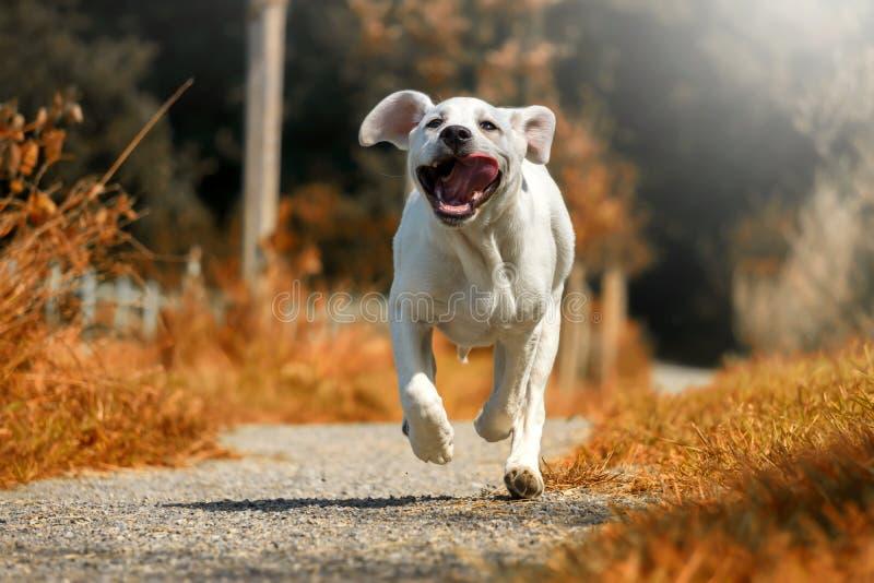 Cachorrinho do cão de Labrador que corre com a língua que pendura para fora no sol imagens de stock royalty free