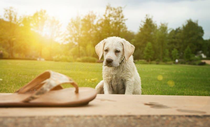 Cachorrinho do cão de Labrador que olha a sapata quando por do sol imagens de stock royalty free