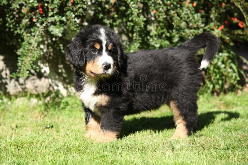 Cachorrinho do cão de montanha de Bernese fotografia de stock royalty free