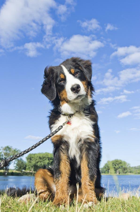 Cachorrinho do cão de montanha de Bernese na praia! fotografia de stock royalty free