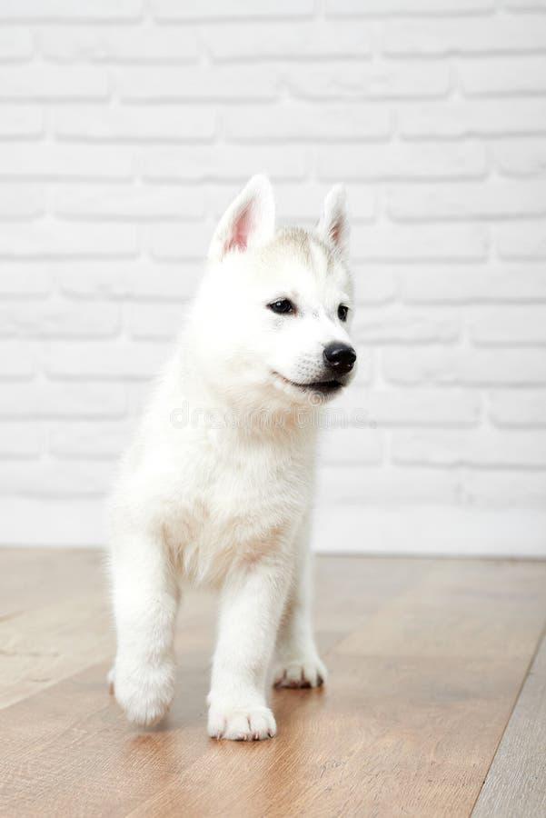 Cachorrinho do cão de puxar trenós Siberian no estúdio imagem de stock royalty free