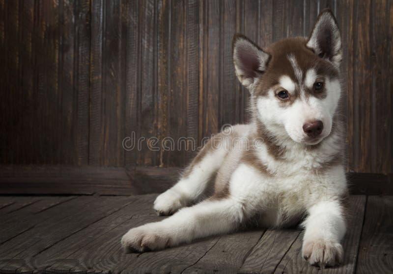 Cachorrinho do cão de puxar trenós Siberian no fundo de madeira fotografia de stock