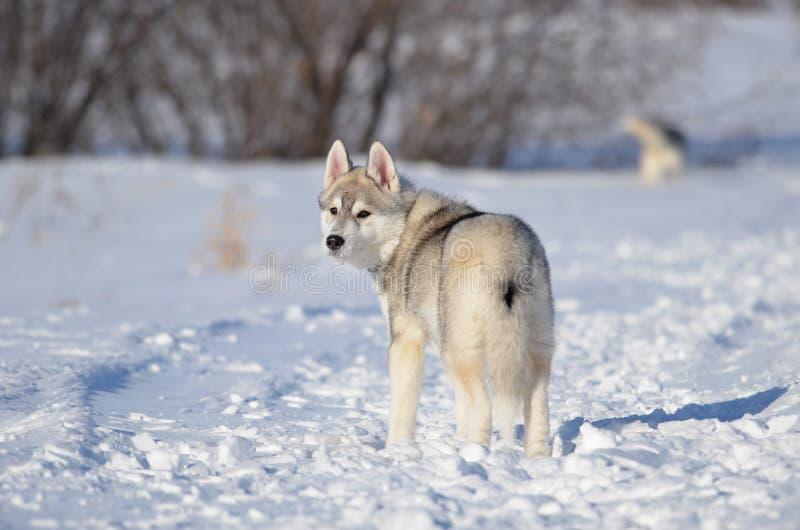 Cachorrinho do cão do cão de puxar trenós Siberian cinzento e branco no inverno que olha para trás imagens de stock