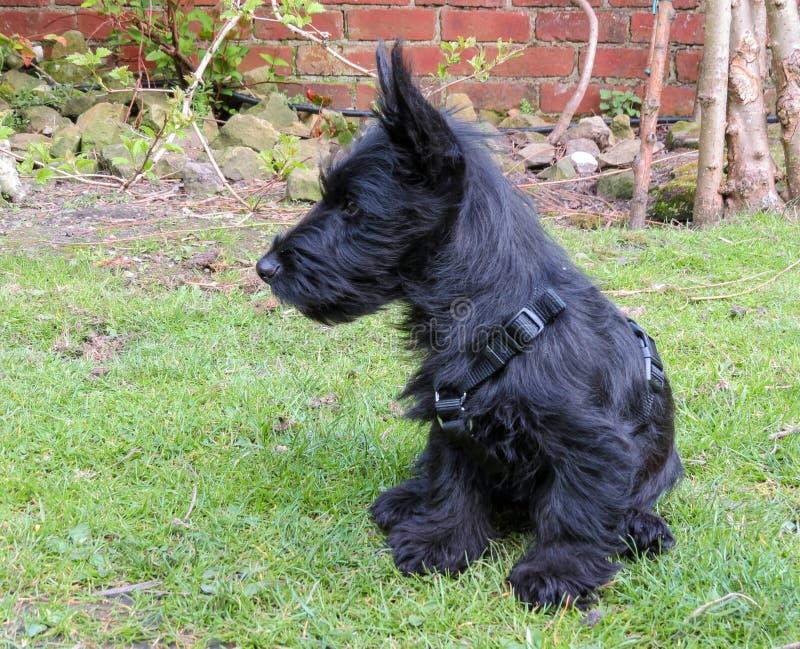 Cachorrinho do cão do Scottie que senta-se no gramado que mostra o perfil fotografia de stock