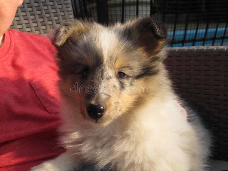 Cachorrinho do cão pastor de Shetland imagens de stock