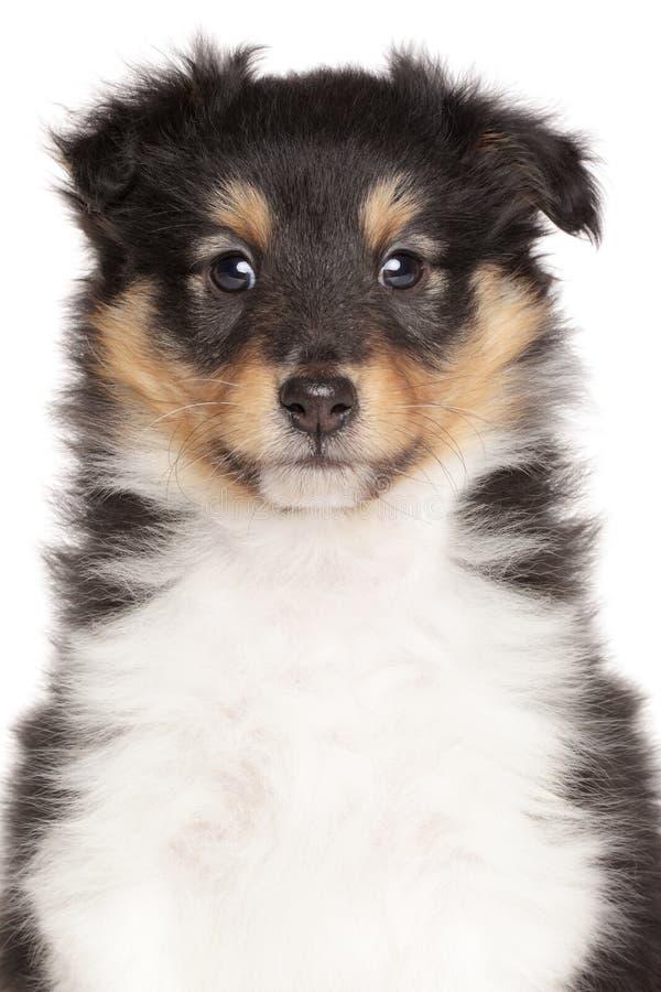 Cachorrinho do cão pastor de Shetland isolado fotos de stock royalty free