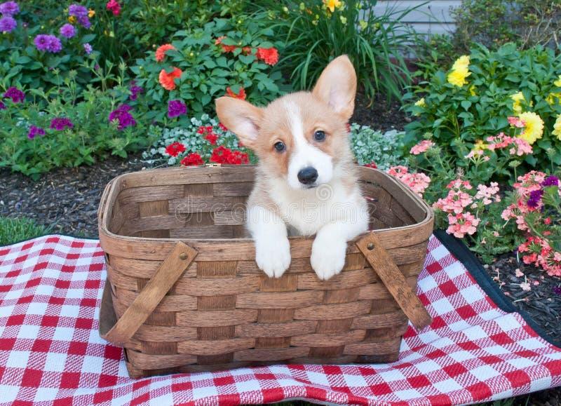 Cachorrinho do Corgi imagens de stock