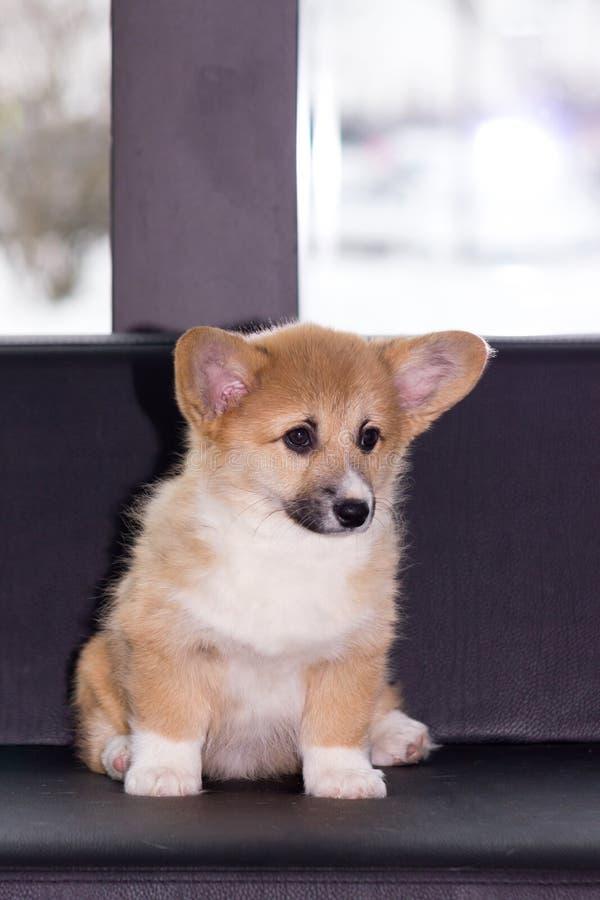 Cachorrinho do corgi de Galês fotos de stock