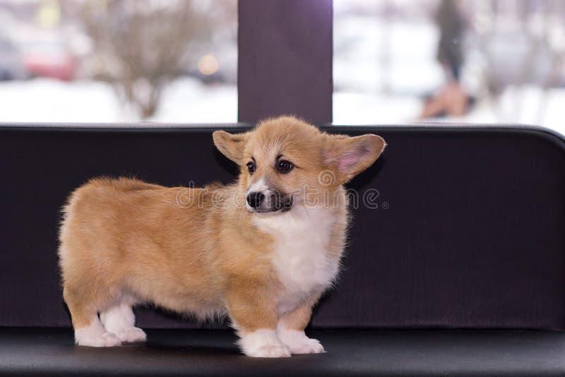 Cachorrinho do corgi de Galês fotografia de stock royalty free