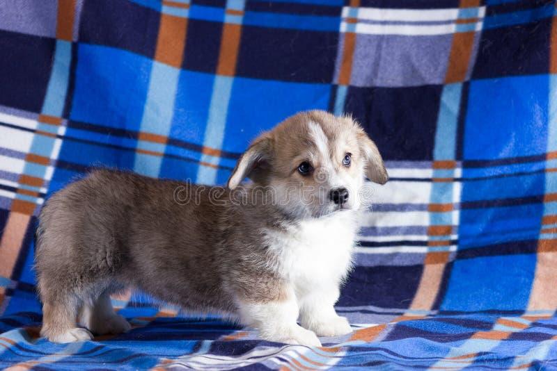 Cachorrinho do corgi de Galês imagem de stock