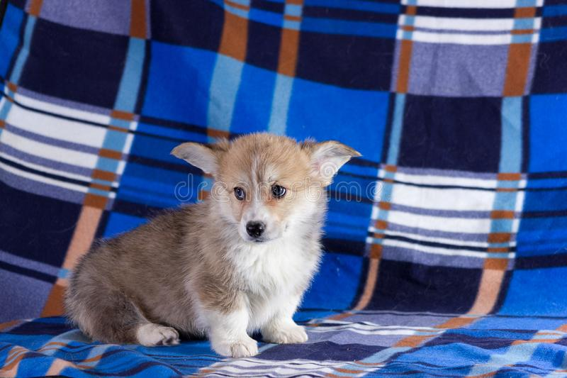 Cachorrinho do corgi de Galês foto de stock royalty free