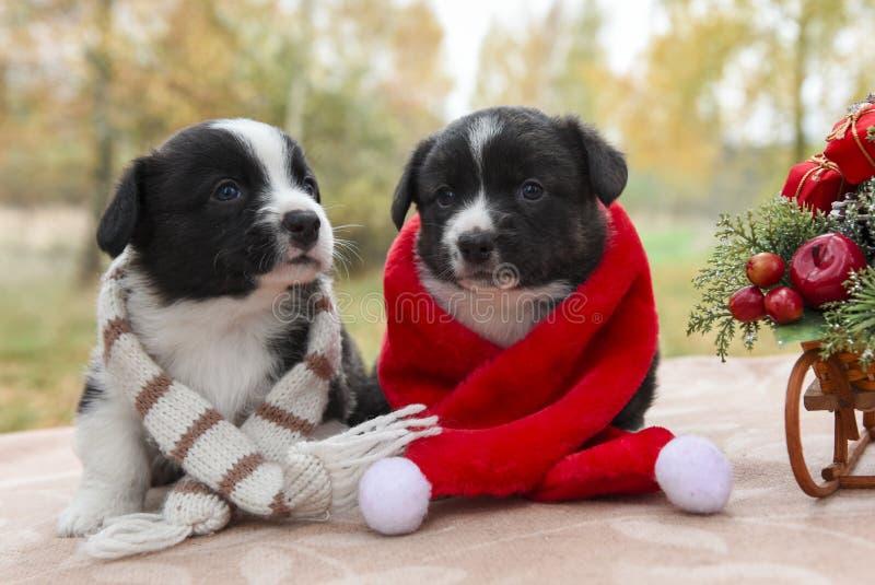Cachorrinho do Corgi no chapéu de Santa fotos de stock