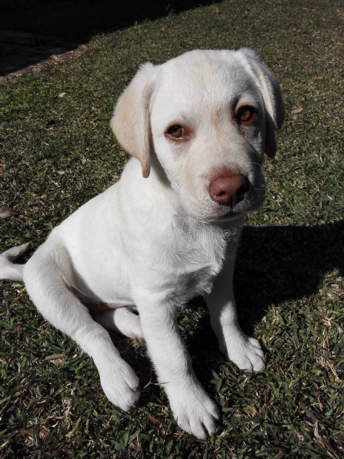 Cachorrinho do dudley de Labrador fotografia de stock