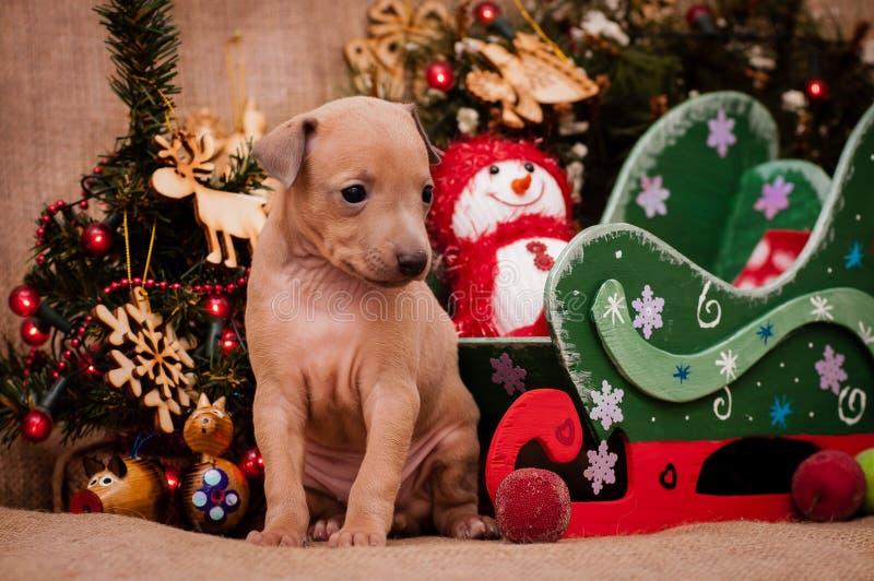 Cachorrinho do galgo italiano no fundo do ` s do ano novo fotografia de stock royalty free